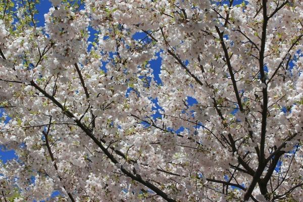 cherry blossom texture high park - saf affect